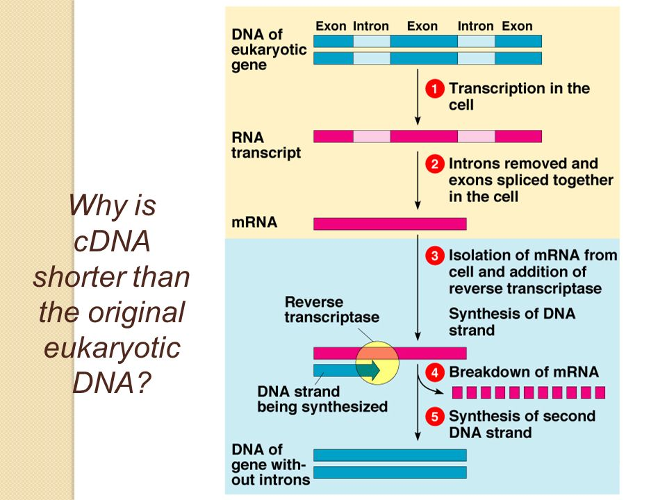 Why is cDNA shorter than the original eukaryotic DNA