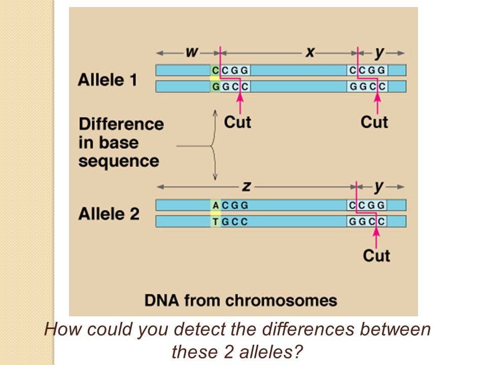 How could you detect the differences between these 2 alleles