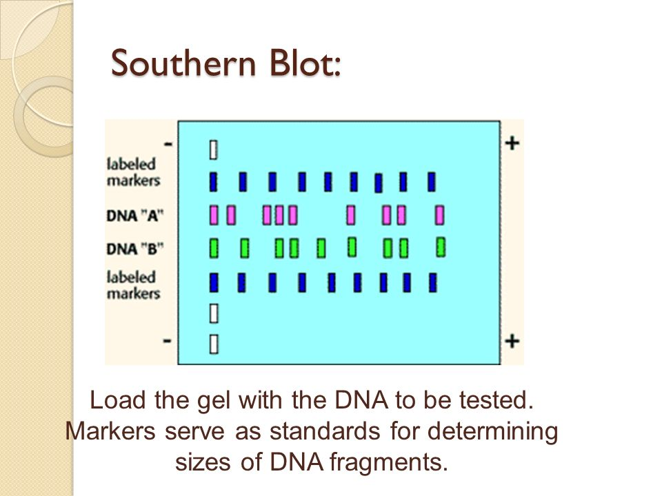 Southern Blot: Load the gel with the DNA to be tested.