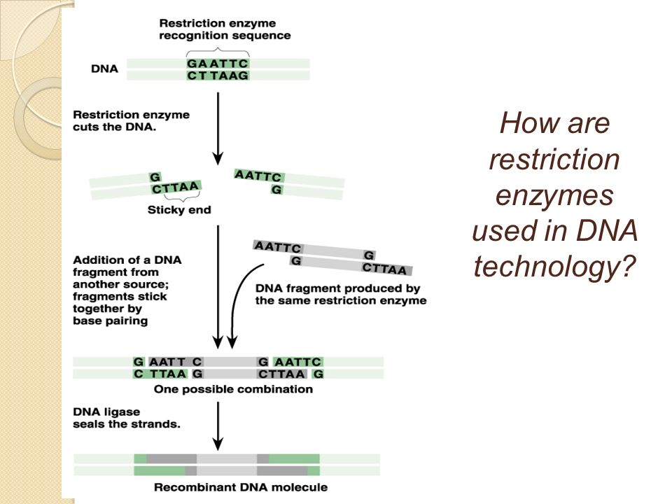 How are restriction enzymes used in DNA technology