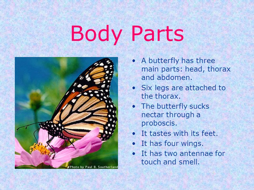 Body Parts A butterfly has three main parts: head, thorax and abdomen.