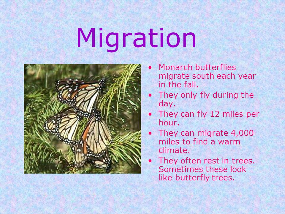 Migration Monarch butterflies migrate south each year in the fall.
