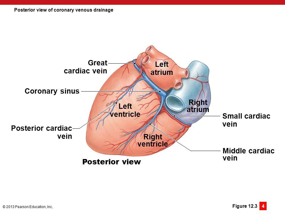 Funky Coronary Venous Anatomy Motif - Human Anatomy Images ...