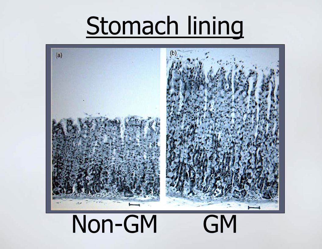 Stomach lining Non-GM GM