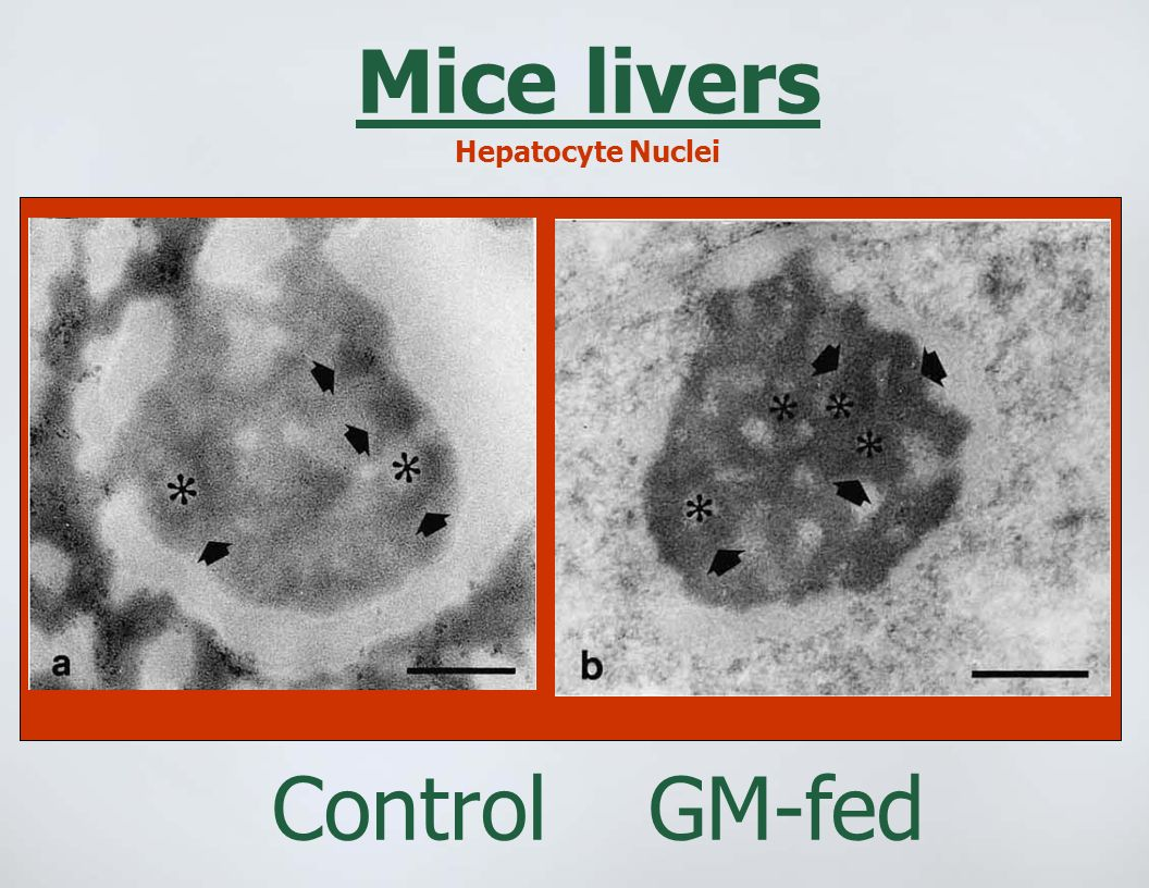 Mice livers Control GM-fed Hepatocyte Nuclei