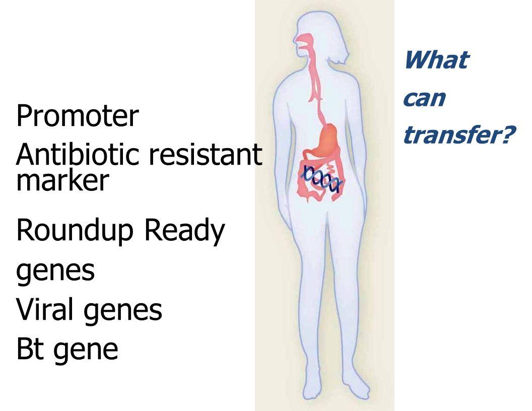 Antibiotic resistant marker Roundup Ready genes Viral genes Bt gene