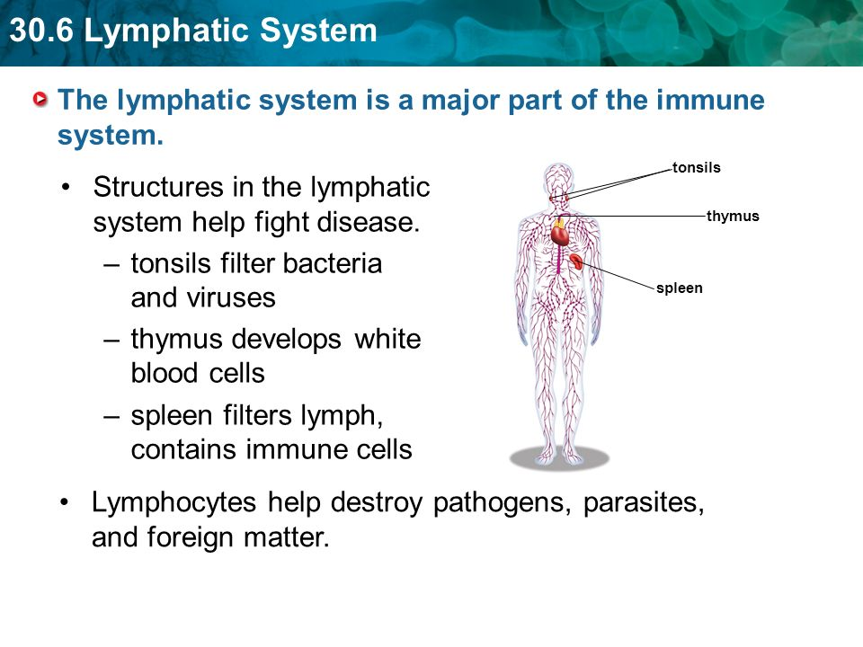 The lymphatic system is a major part of the immune system.