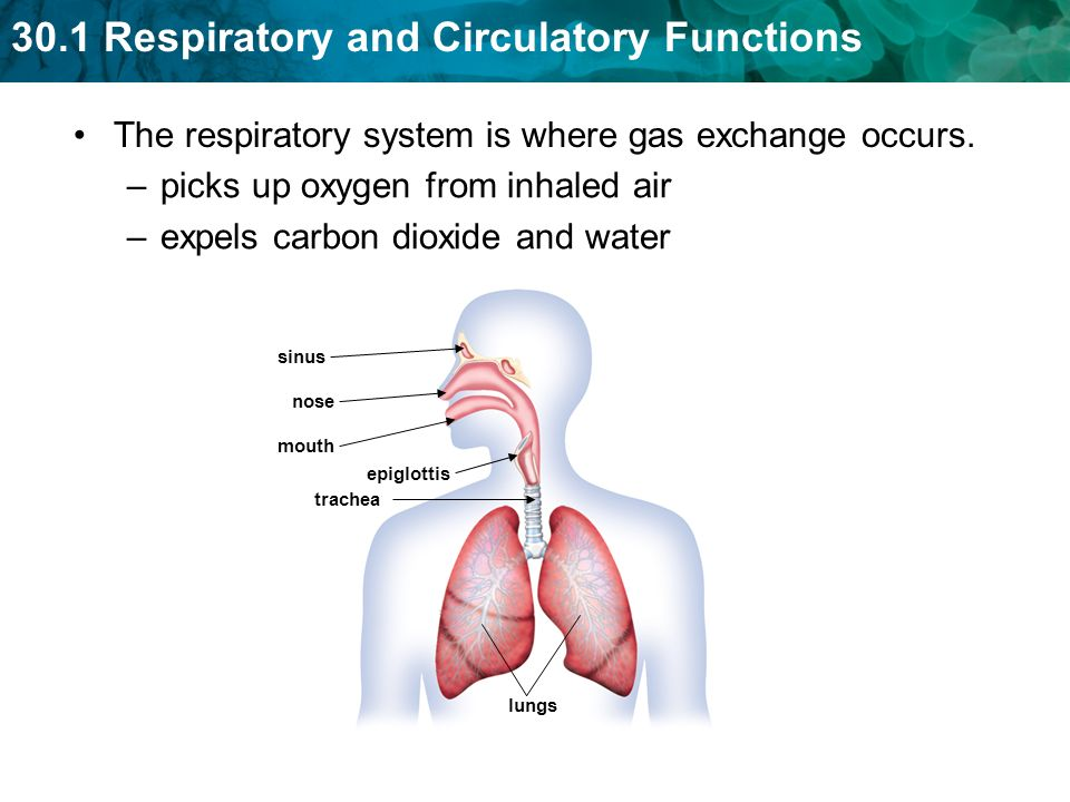 The respiratory system is where gas exchange occurs.