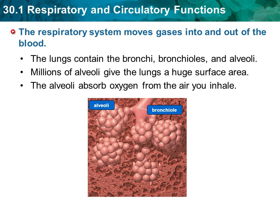 The respiratory system moves gases into and out of the blood.