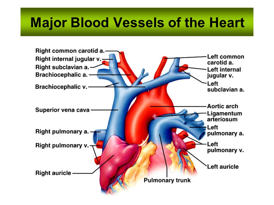 Essentials of human anatomy ppt video online download 29 major blood vessels of the heart sciox Image collections