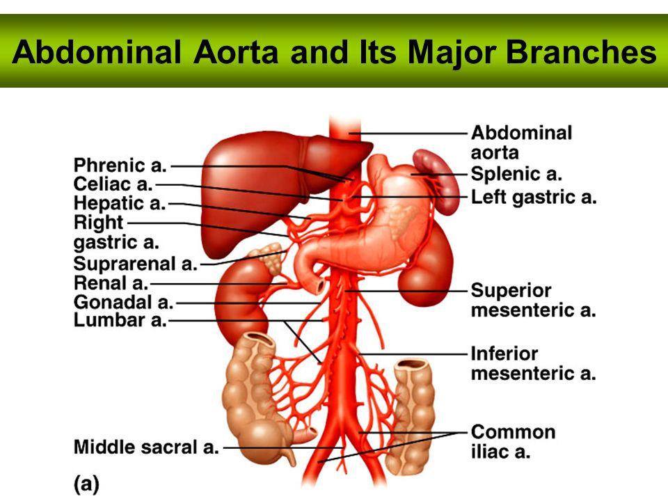 Ungewöhnlich Absteigende Aorta Bilder - Menschliche Anatomie Bilder ...