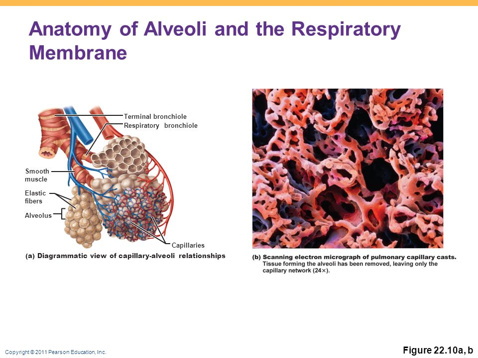anatomy of the respiratory system alveoli