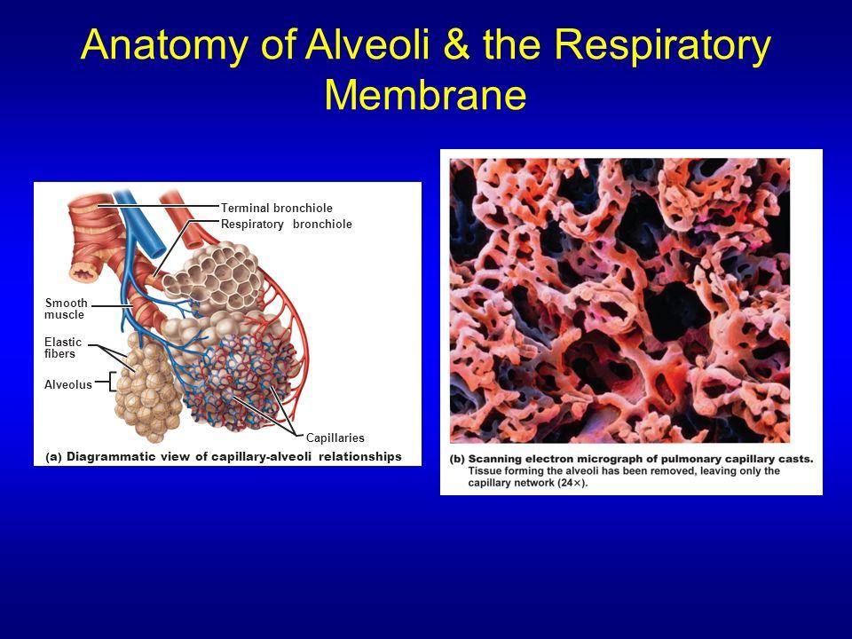 Anatomy Of Alveoli The Respiratory Membrane