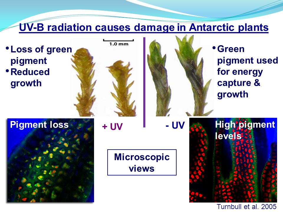 UV-B radiation causes damage in Antarctic plants