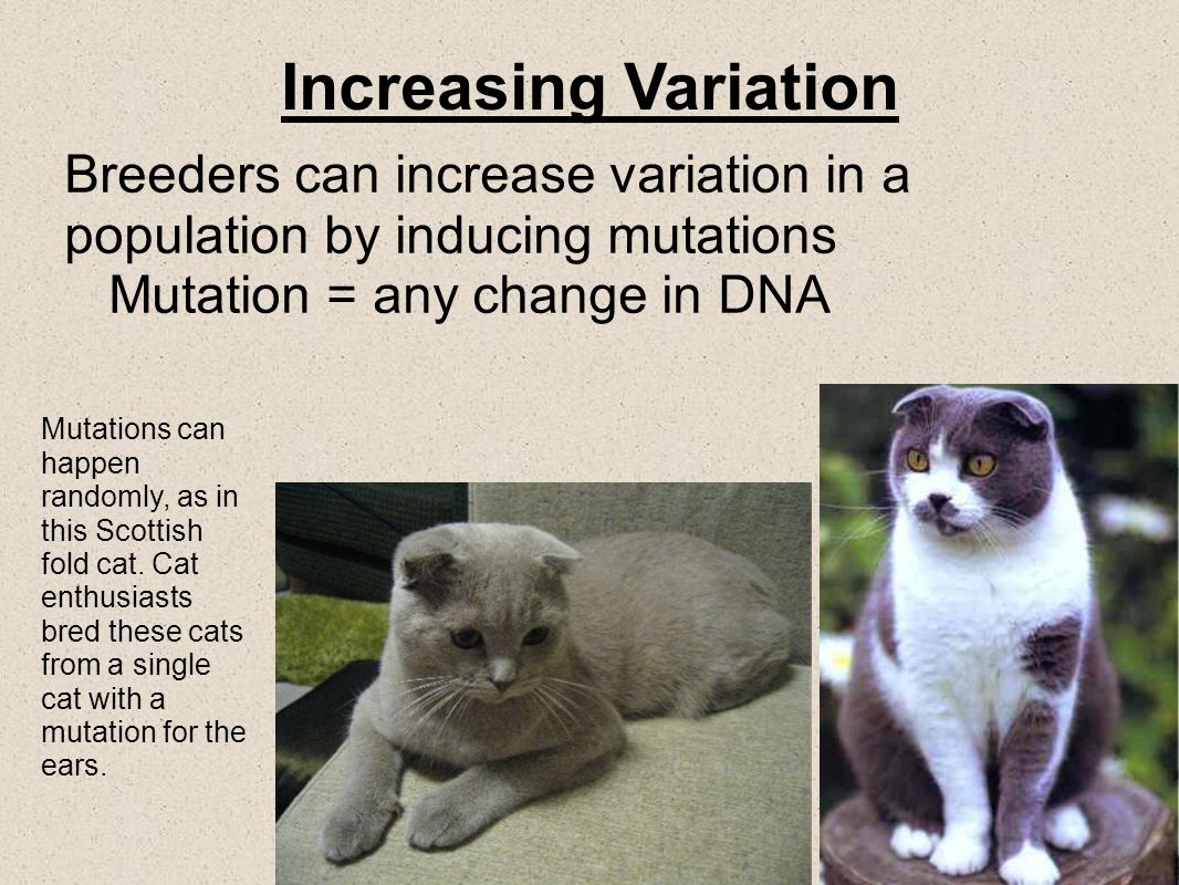 Increasing Variation Breeders can increase variation in a population by inducing mutations. Mutation = any change in DNA