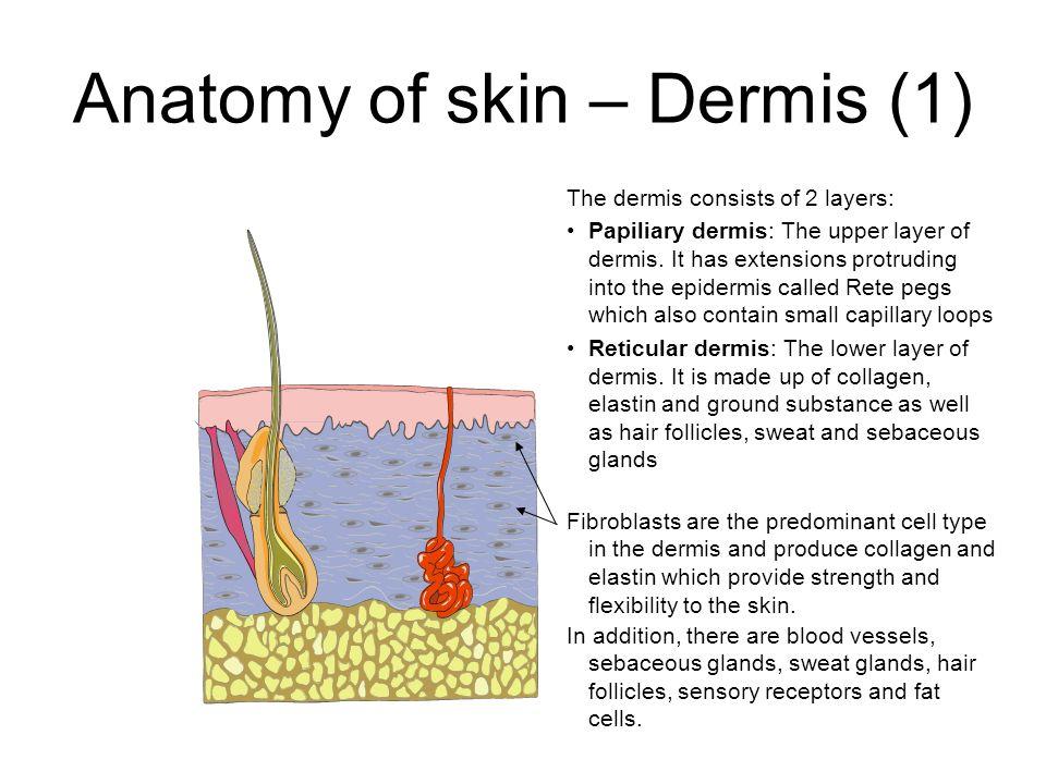 Anatomy of the dermis