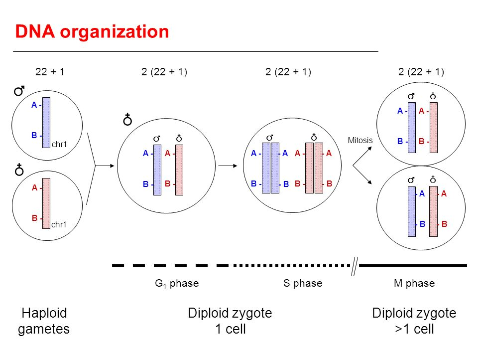 Diploid zygote >1 cell