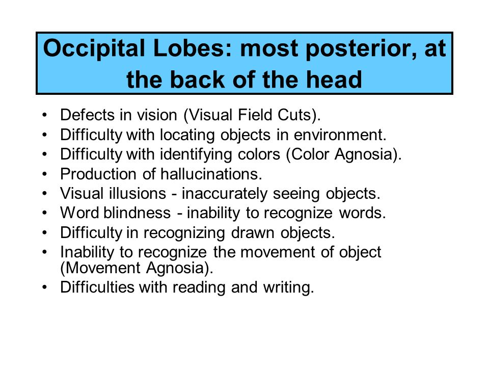 Occipital Lobes: most posterior, at the back of the head