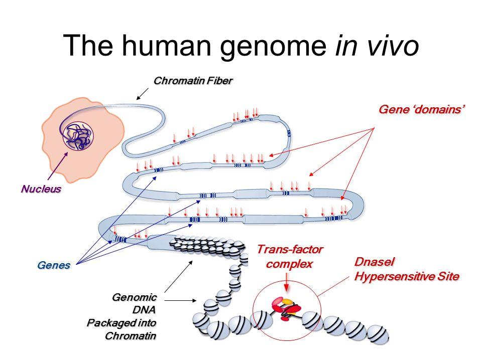 The human genome in vivo