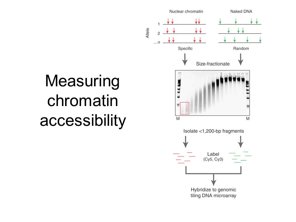 Measuring chromatin accessibility