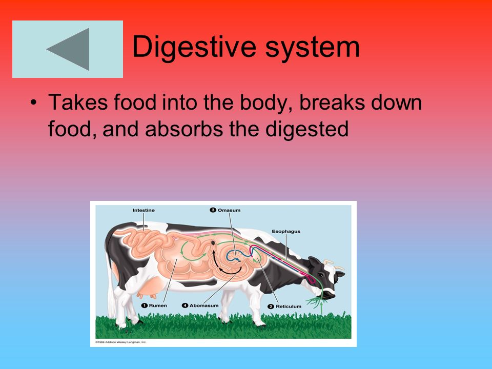 Digestive system Takes food into the body, breaks down food, and absorbs the digested