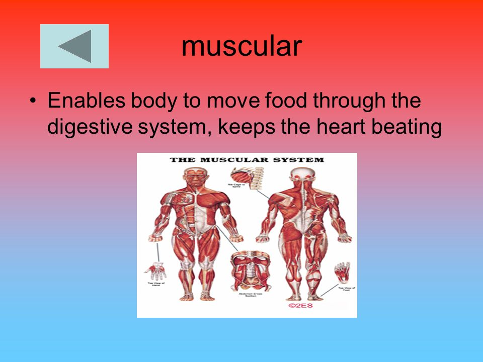 muscular Enables body to move food through the digestive system, keeps the heart beating