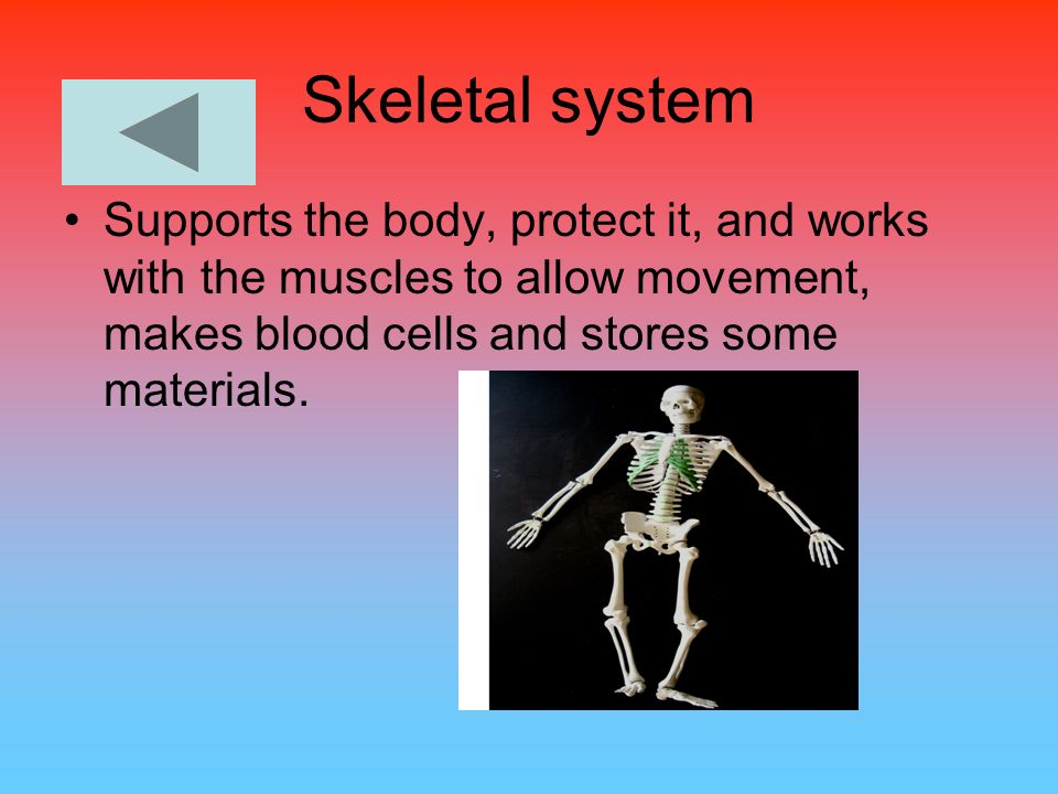 Skeletal system Supports the body, protect it, and works with the muscles to allow movement, makes blood cells and stores some materials.