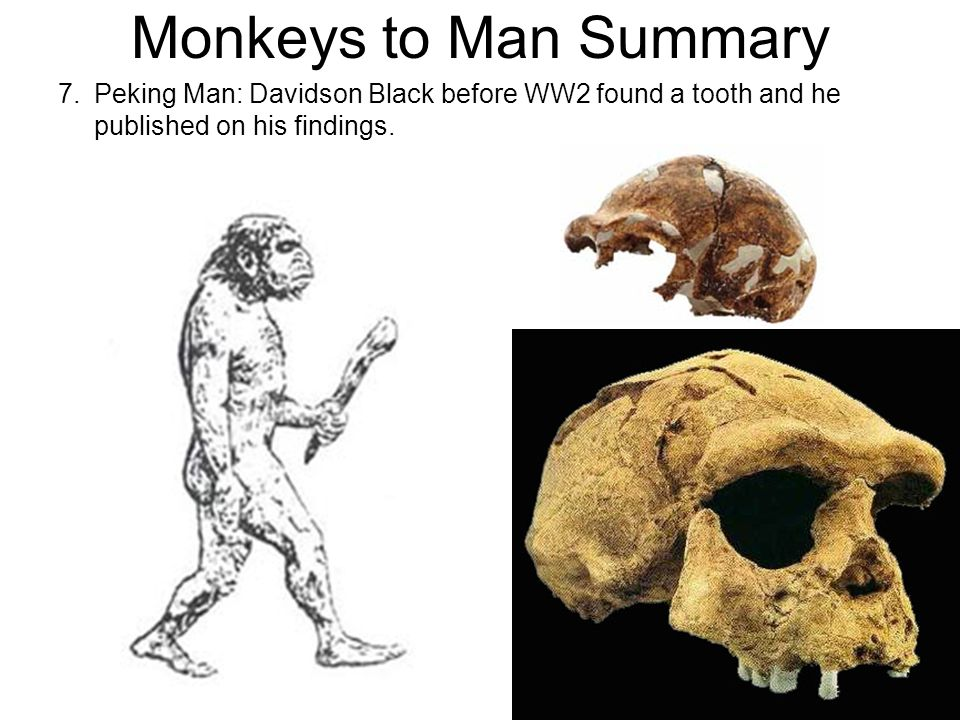 Monkeys to Man Summary 7. Peking Man: Davidson Black before WW2 found a tooth and he published on his findings.