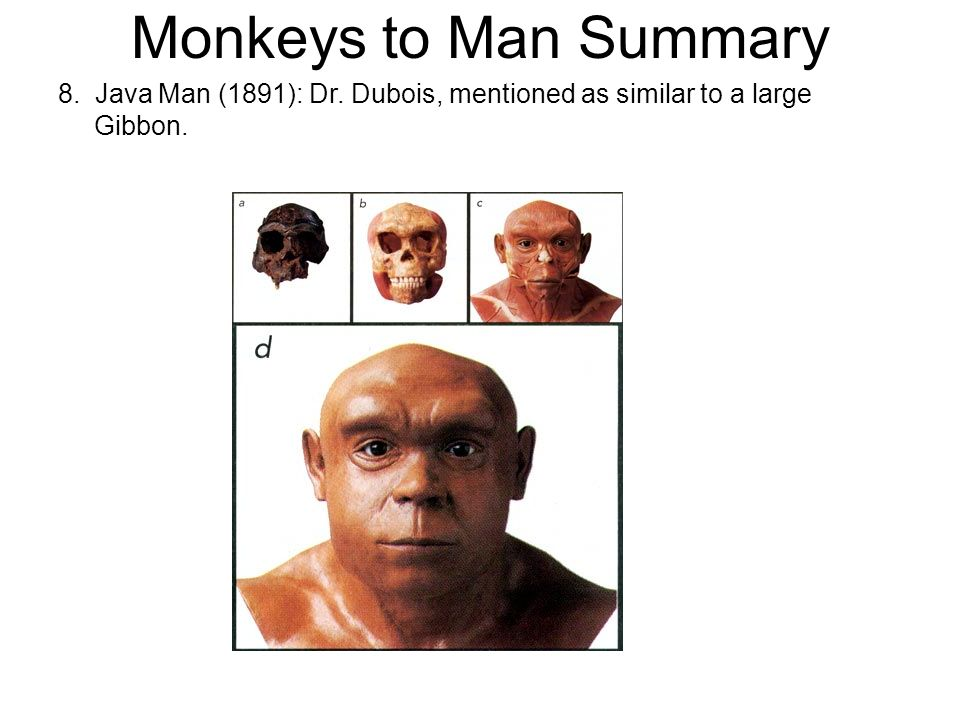 Monkeys to Man Summary 8. Java Man (1891): Dr. Dubois, mentioned as similar to a large Gibbon.