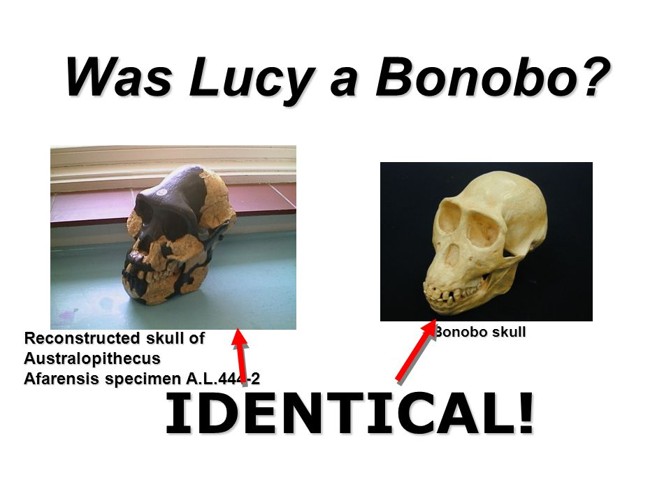 IDENTICAL! Was Lucy a Bonobo Reconstructed skull of Australopithecus