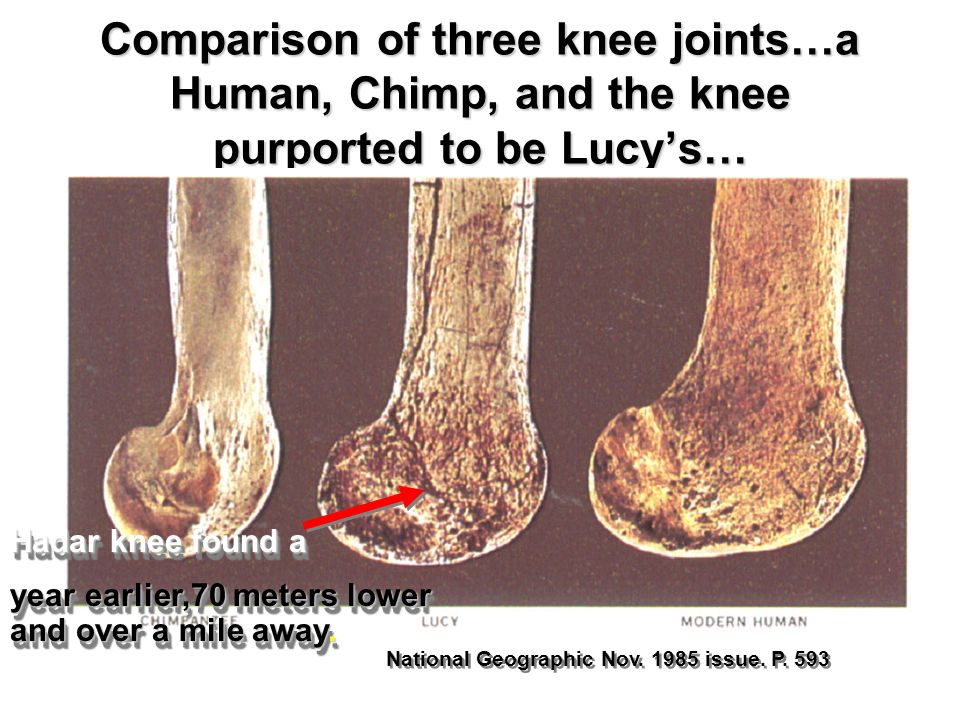 Comparison of three knee joints…a Human, Chimp, and the knee purported to be Lucy's…