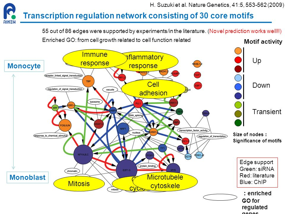 Transcription regulation network consisting of 30 core motifs