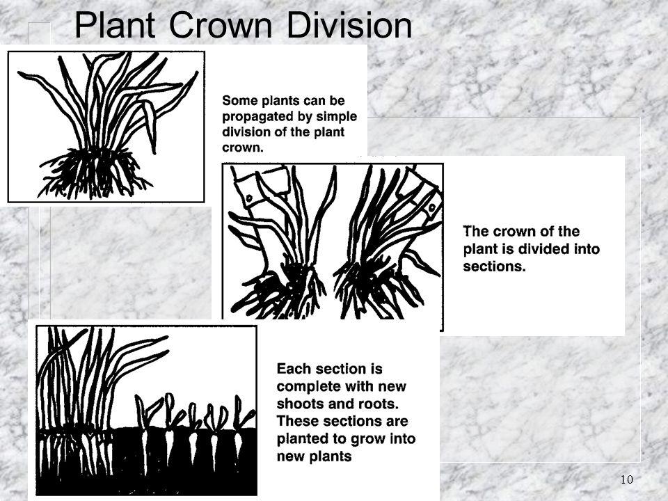 Plant Crown Division