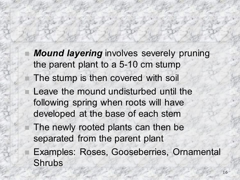 Mound layering involves severely pruning the parent plant to a 5-10 cm stump