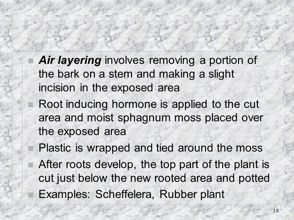 Air layering involves removing a portion of the bark on a stem and making a slight incision in the exposed area