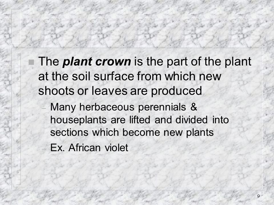 The plant crown is the part of the plant at the soil surface from which new shoots or leaves are produced