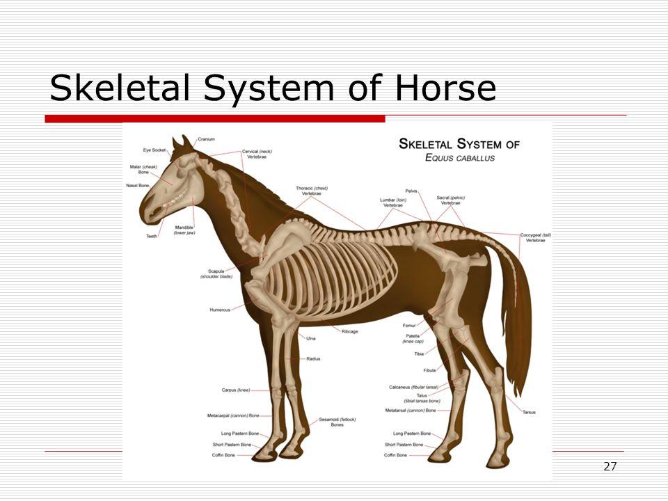 Skeletal System of Horse