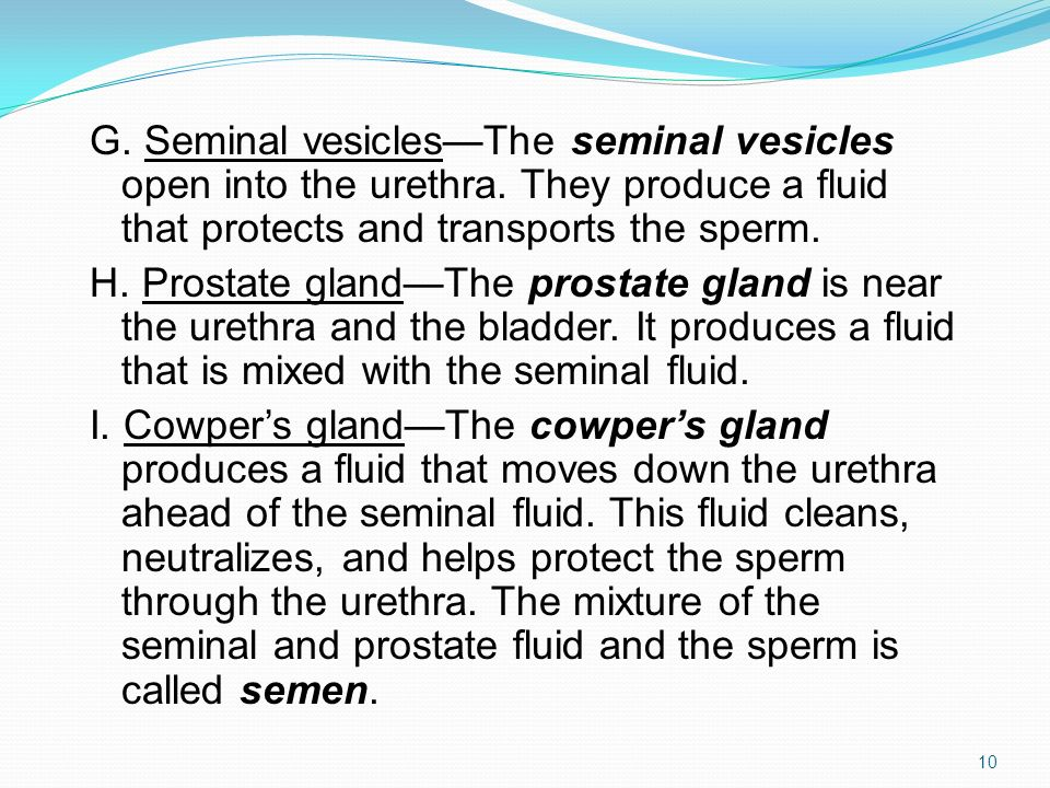 G. Seminal vesicles—The seminal vesicles open into the urethra