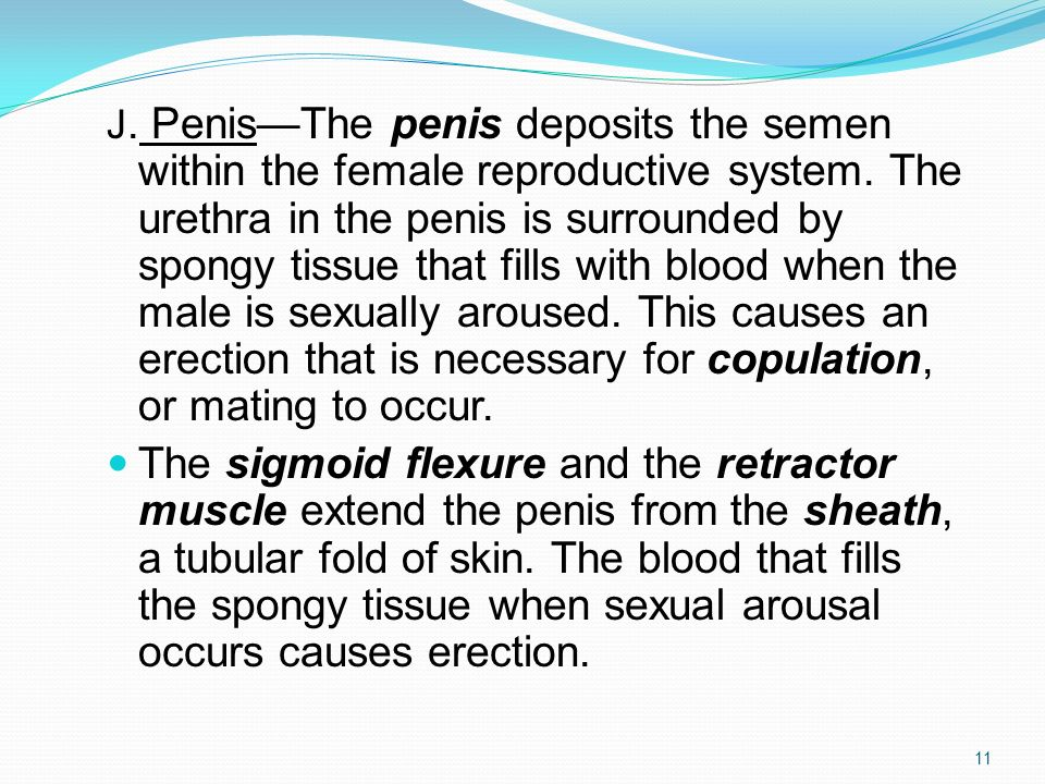 J. Penis—The penis deposits the semen within the female reproductive system. The urethra in the penis is surrounded by spongy tissue that fills with blood when the male is sexually aroused. This causes an erection that is necessary for copulation, or mating to occur.