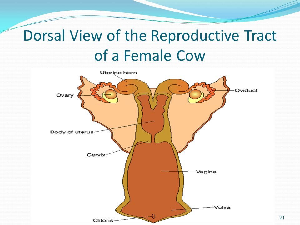 Dorsal View of the Reproductive Tract of a Female Cow