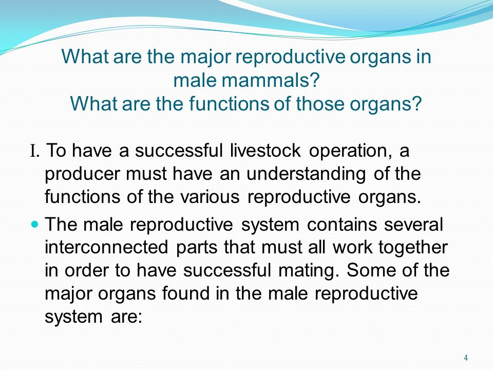 What are the major reproductive organs in male mammals