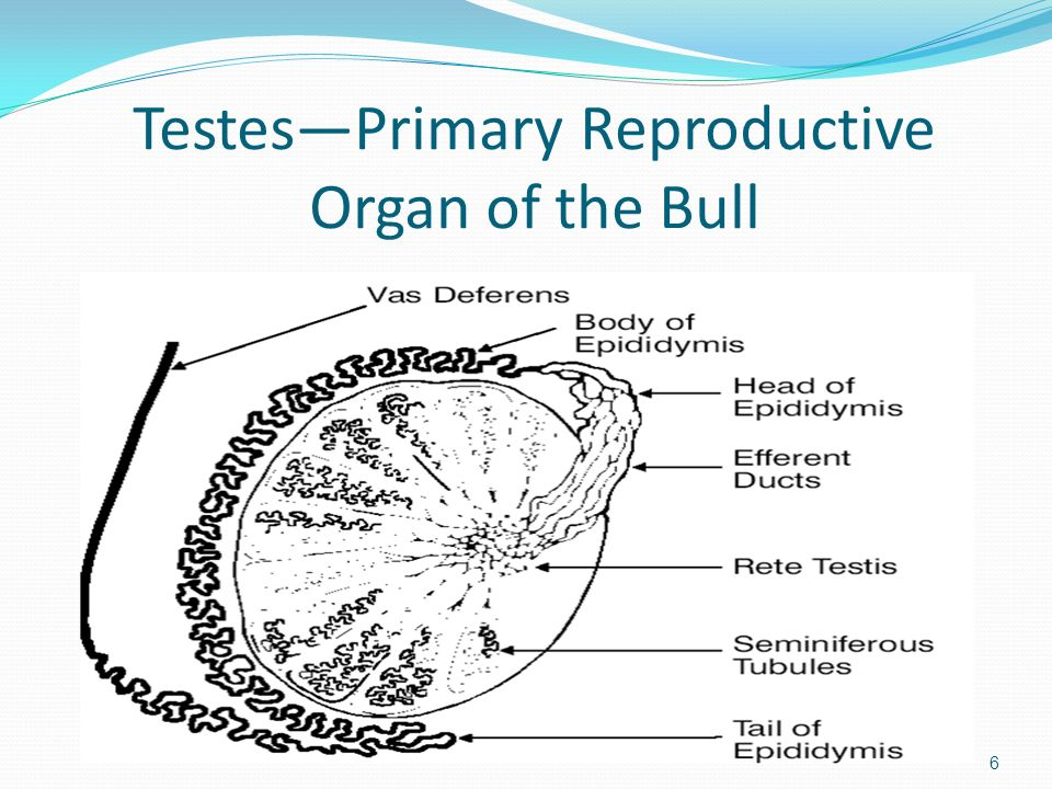 Testes—Primary Reproductive Organ of the Bull