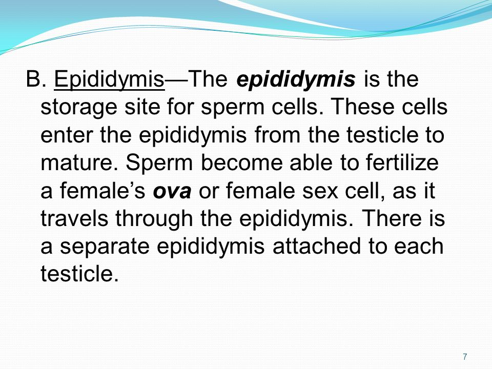B. Epididymis—The epididymis is the storage site for sperm cells