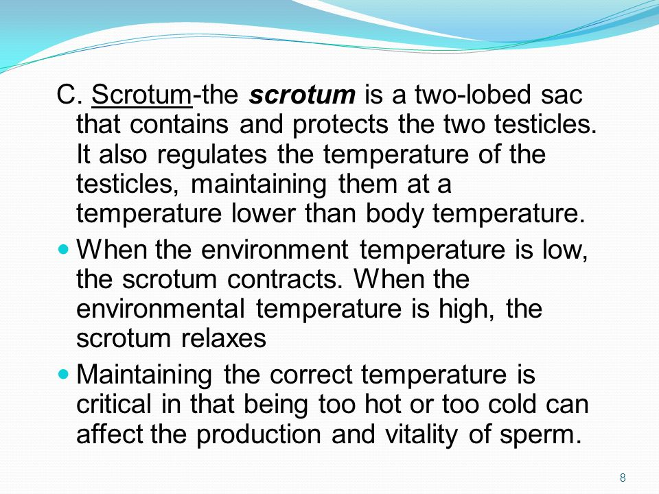 C. Scrotum-the scrotum is a two-lobed sac that contains and protects the two testicles. It also regulates the temperature of the testicles, maintaining them at a temperature lower than body temperature.