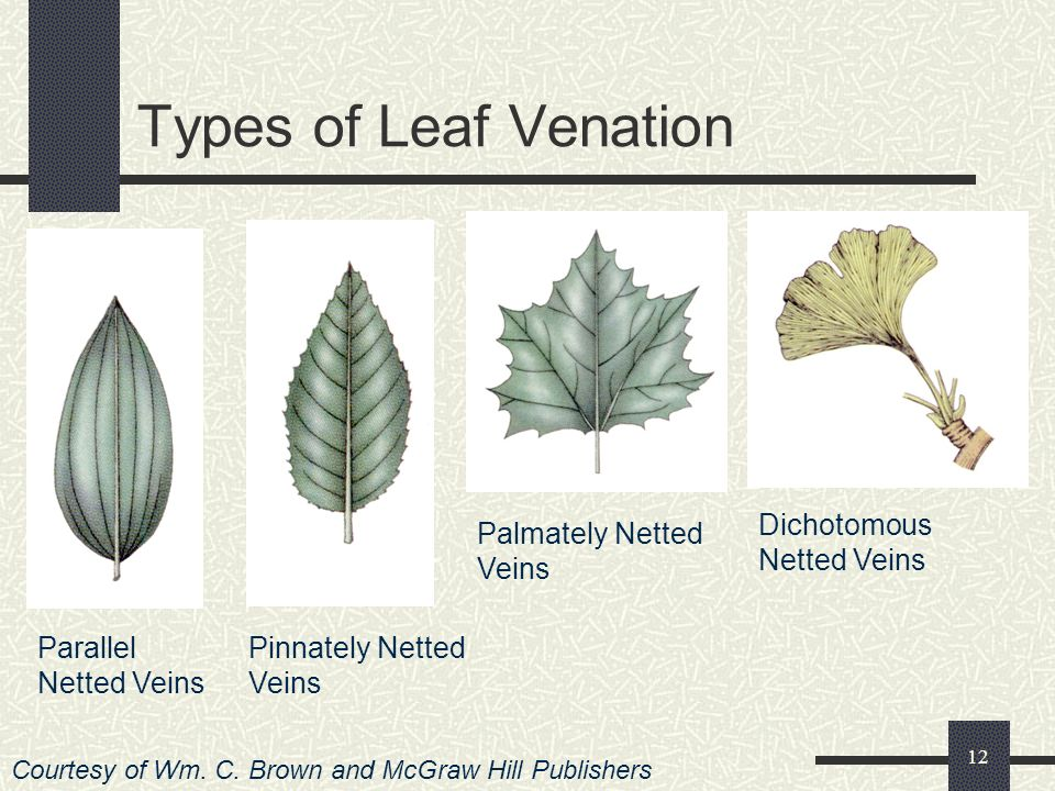 Types of Leaf Venation Dichotomous Netted Veins Palmately Netted Veins