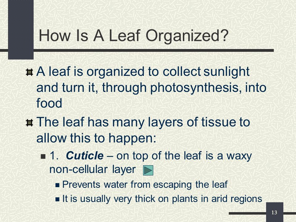 How Is A Leaf Organized A leaf is organized to collect sunlight and turn it, through photosynthesis, into food.