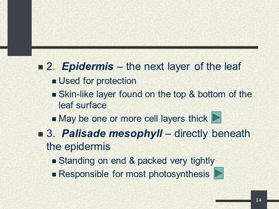 2. Epidermis – the next layer of the leaf