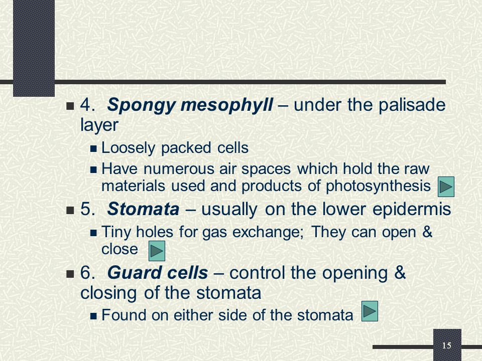 4. Spongy mesophyll – under the palisade layer