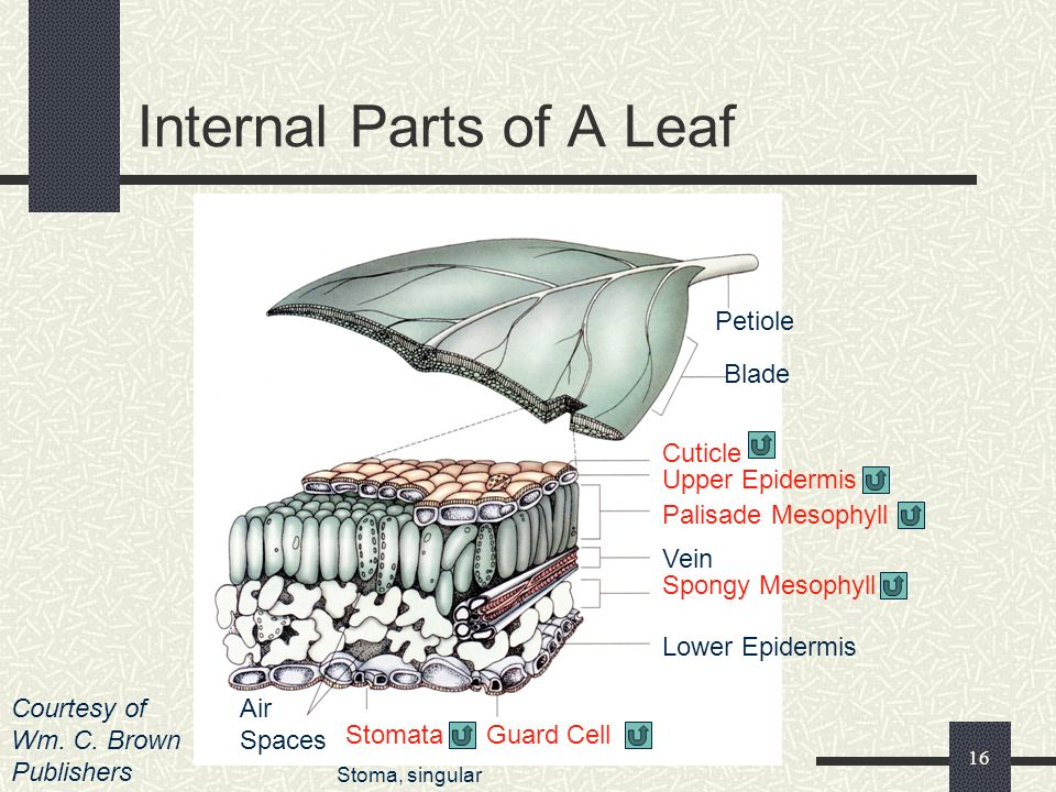 Internal Parts of A Leaf