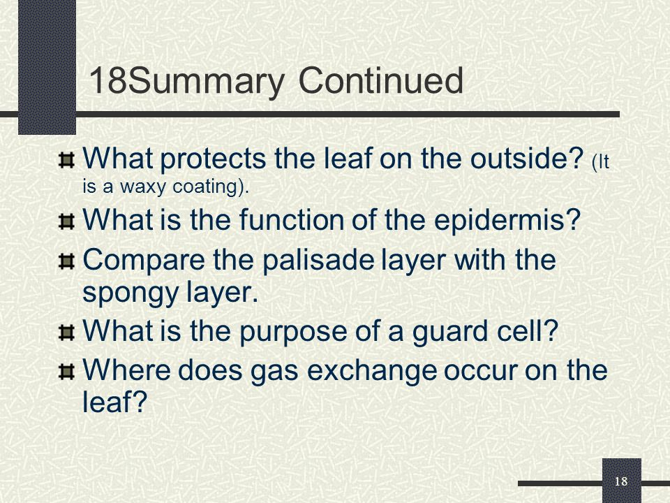 18Summary Continued What protects the leaf on the outside (It is a waxy coating). What is the function of the epidermis